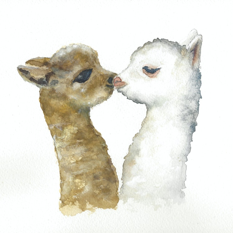 Young Alpaca Love
