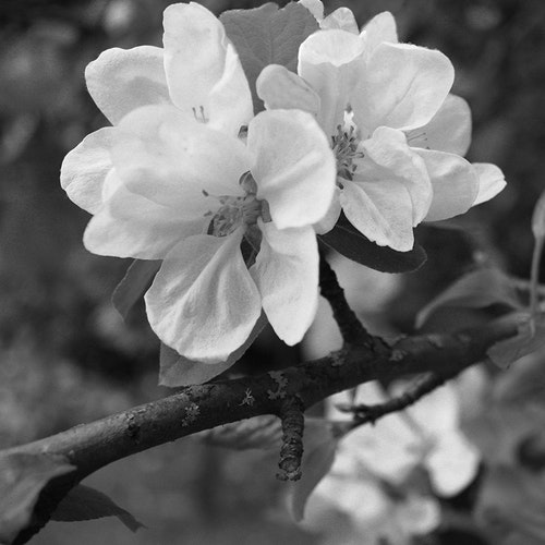 Spring's First Blossom