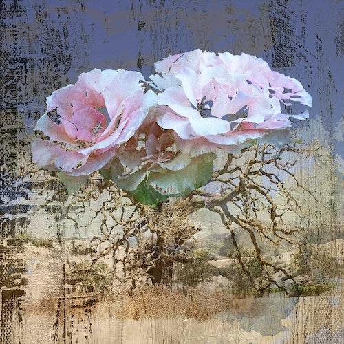 Roses Napa Pink