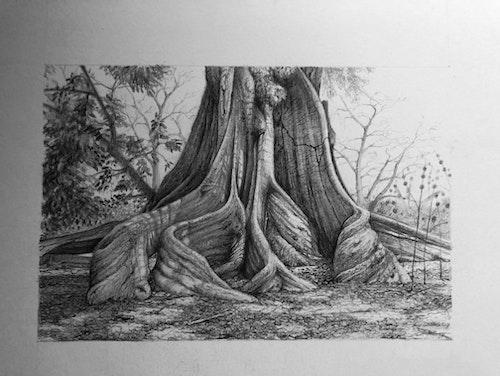 Kapok tree Gambia