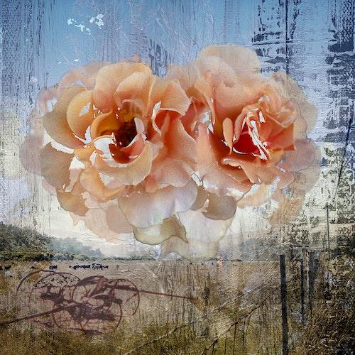 Roses Napa Orange