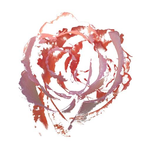 Rose Angel Face